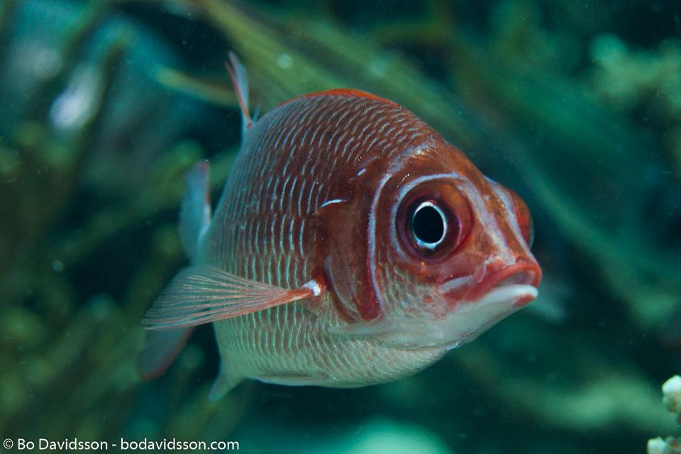 BD-141018-Komodo-5423-Myripristis-violacea.-Bleeker.-1851-[Lattice-soldierfish].jpg